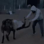 Peleador de UFC entrena contra una cabra durante la cuarentena